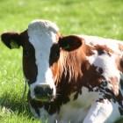 מה עדיף: חלב פרה, חלב עיזים או גמלים?