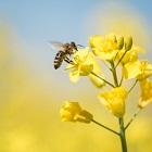 עקיצת הדבורה: טיפול באלרגיה לדבורים